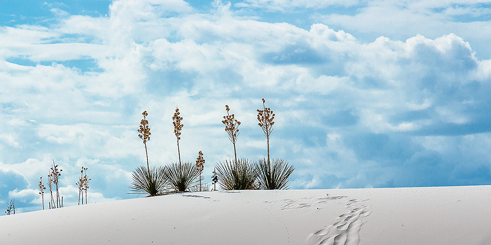 Yucca plants growing atop a dune with clouds in the background