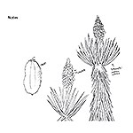 Black and white drawing of yucca plant with spikey leaves