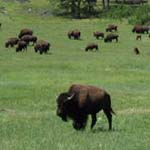 Bison herd on Wind Cave National Park Prairie