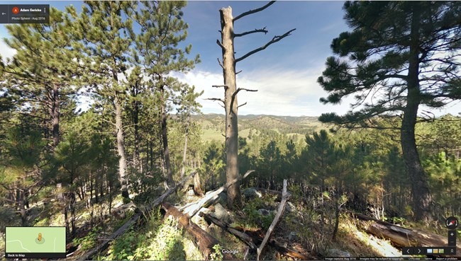 dead tree in pine forest