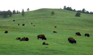 Spring Bison Herd on a green field