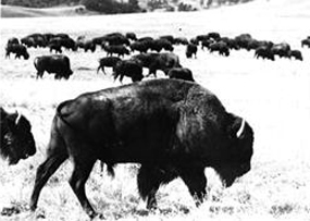 Bison at the Wind Cave National Game Preserve