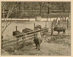 Historic sepia-toned photograph of bison in a pen waiting to be shipped