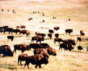 Historic photograph of bison herd in an autumn prairie