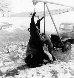 Historic photography of a bison hoisted by rear hoofs and a Custer State Park employee dressing it