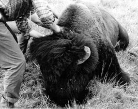 Checking a Bull for Brucellosis After Being Immobilized by Tranquilizers