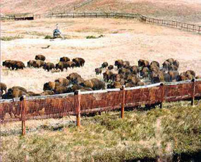 Using Helicopters in the Bison Roundup