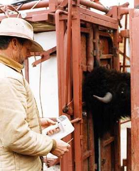 Park employee implanting a microchip in a bison