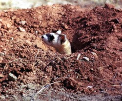 A black-footed ferret sticking its head out of a burrow