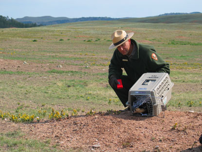 Mike Laycock prepares to release black-footed ferret.