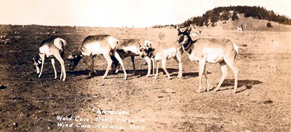 Pronghorn Family on Prairie