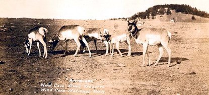 Family of 5 Pronghorn on the prairie