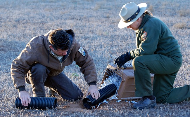 Two government employees releasing black-footed ferret into the prairie