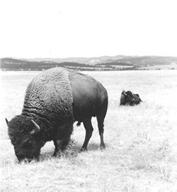 Black and white photograph of two bison bulls in a prairie