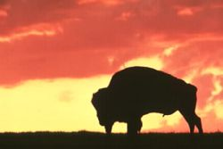 Bison Against the Sunset