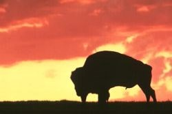Bison silhouette against a sunset