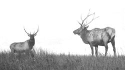 Two elk bulls on a hill