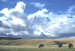 Prairie landscape with bison in the foreground