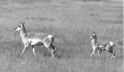 Pronghorn and Kid