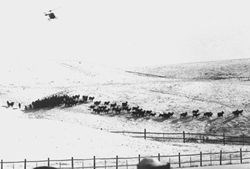 A historic black and white photograph of a bison roundup.  A helicopter is in the sky with a herd of bison beneath it.
