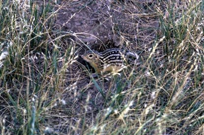Thirteen-Lined Ground Squirrel - Citellus columbianus