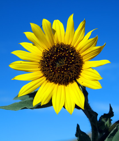Sunflower, Annual Sunflower, Common Sunflower - Helianthus annuus