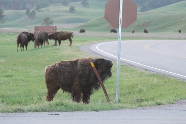 a young bison rubbing its neck against a metal stake, the stake is bending under the weight