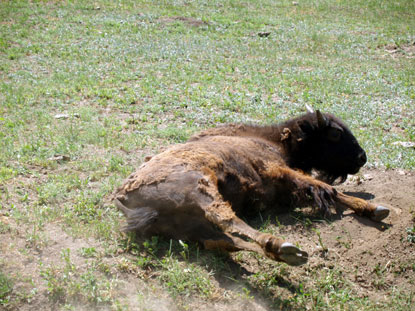 Bison Wallow Sequence #1