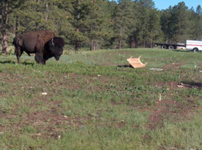 Bison in the middle of study plots