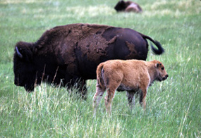 Bison cow and calf on the prairie