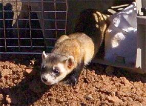Black-footed ferret released in Wind Cave National Park