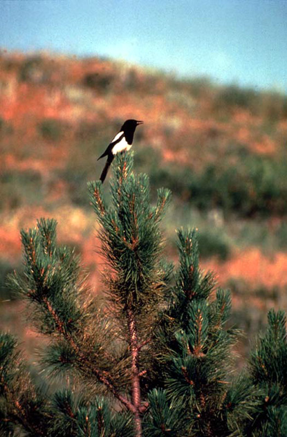 Black-billed Magpie - Pica pica
