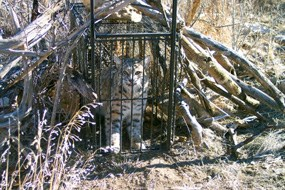 Bobcat (Lynx rufus) in trap