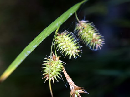 Bottlebrush Sedge - Carex hystericina
