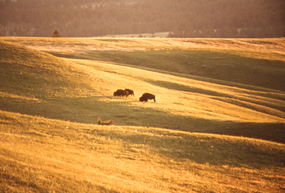 Bison bulls grazing on the prairie