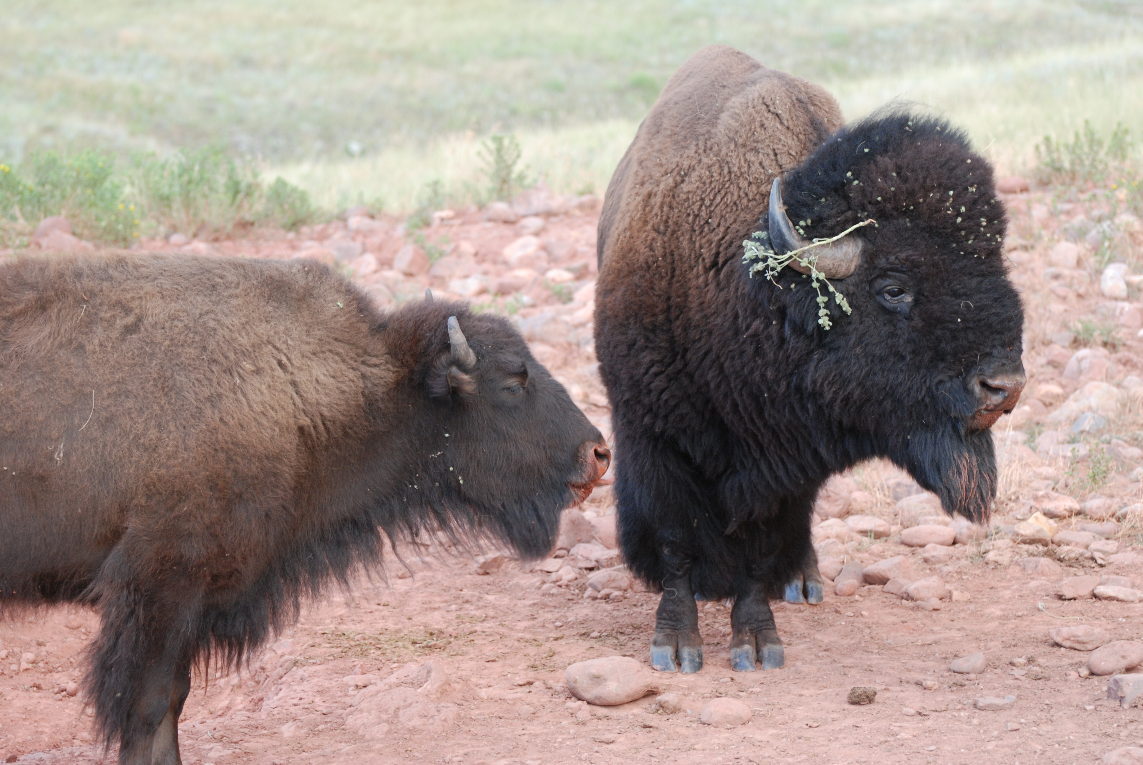 Vs american buffalo bison african 15 Facts