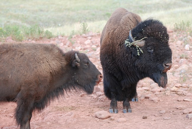 an adult male and female bison stand in an orange patch of dirt, their noses are orange with mud