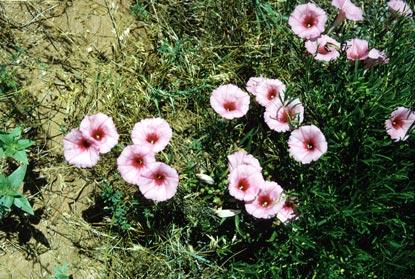 Wildflowers - Bush Morningglory - Wind Cave National Park (U.S ...