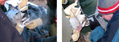 Performing a Tonsillar Biopsy on a Deer in the Chronic Wasting Disease Study