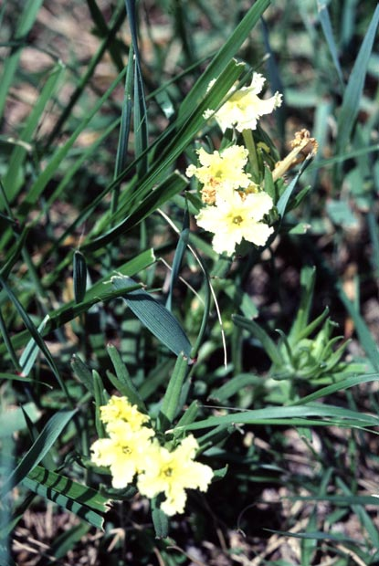 Cleff Gromwell - Lithospermum incisium