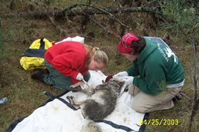 Jamie Chronert takes a blood sample from a coyote