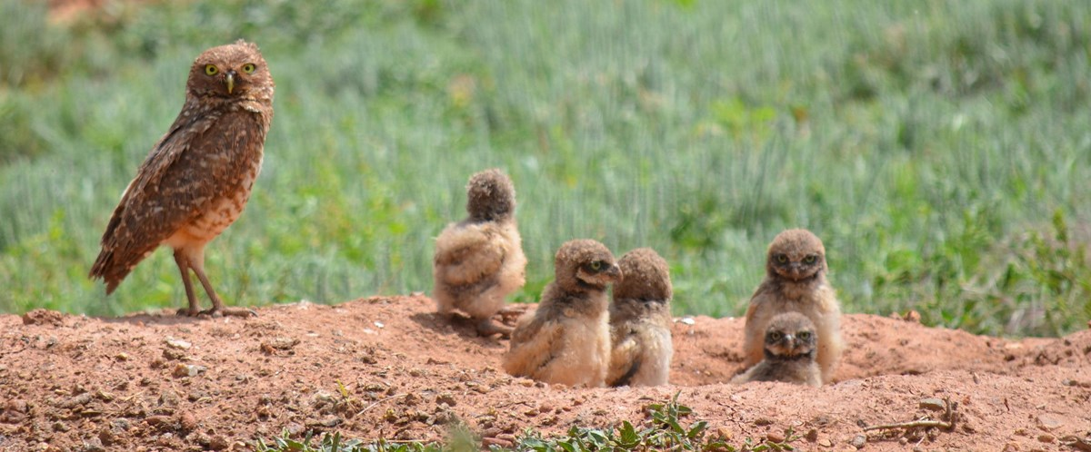 An adult and several young burrowing owls perch on a burrow.