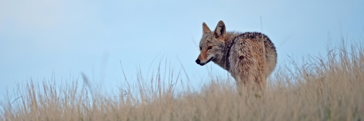 A coyote on a grassy hillside