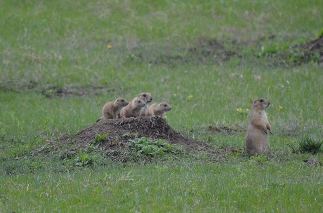 three young prairie dogs with two adults