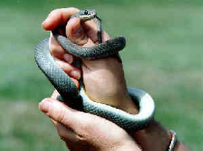 Eastern Yellow-Bellied Racer - Coluber constrictor