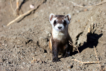 Black-footed Ferret - Mustela nigripes