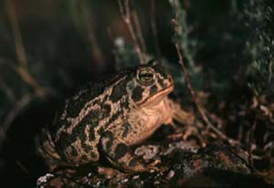 Great Plains Toad - Bufo cognatus