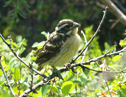 Juvenile Black-headed Grosbeak - Pheucticus melanocephalus