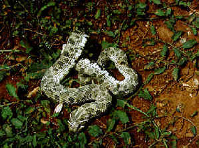 Snakes - Plains Western Hognose Snake - Wind Cave Natio