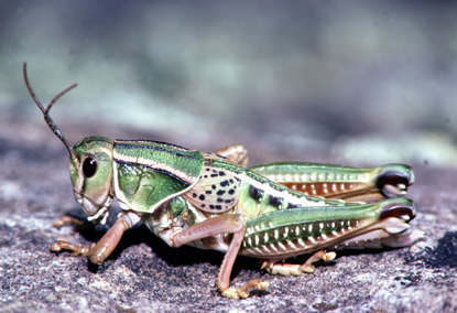 U.s. Grasshoppers Lubber Grasshopper